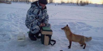De ce vulpile iubesc pescarii?