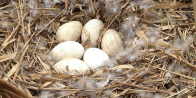 De ce ouăle de gâscă și de rață nu se consumă așa mult?