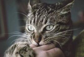 De ce o pisică mușcă proprietarul: primele 4 motive