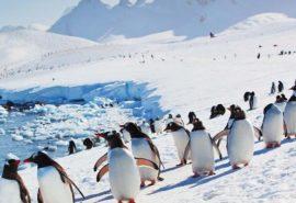 De ce nu există pinguini la Polul Nord?