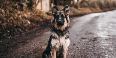 Top 5 cele mai inteligente rase de câini