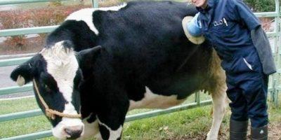 De ce vacile din Elveția au găuri în burtă?