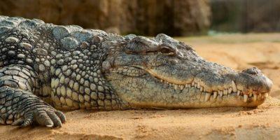 De ce dinozaurii au dispărut, dar crocodilii au supraviețuit
