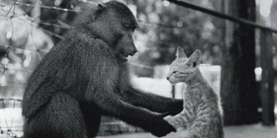 O maimuță învață o pisică să fie maimuță. Pisica nu are succes