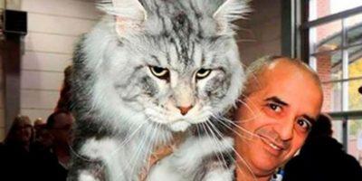 Rasa de pisici Maine Coon