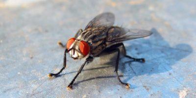 De ce este atât de dificil să prinzi o muscă