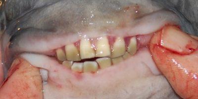 Peștele vegetarian Pacu din Amazon are dinți exact ca un om