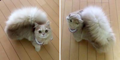 Faceți cunoștință cu Bell! Adorabila pisică cu coadă de veveriță