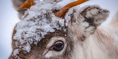 De ce renii își schimbă culoarea ochilor înainte de Crăciun?
