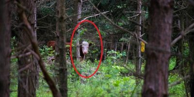 O vacă a fugit de la abator și a trăit în pădure cu o turmă de cerbi un an