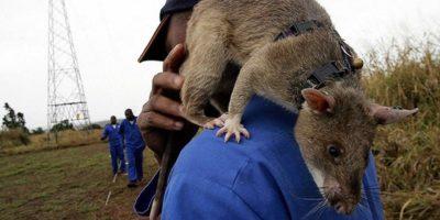 Șobolani de mărimea unei pisici. De ce trăiesc animale gigant pe insule?