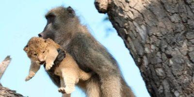 De ce maimuțele fură puii de leu?