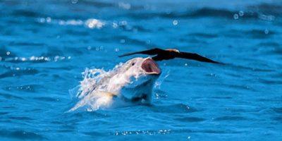 Caranxul uriaș - peștele care vânează păsări în zbor