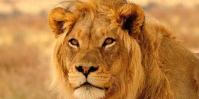 """De fapt, leul nu trăiește în junglă. De ce i se spune """"Regele Junglei""""?"""
