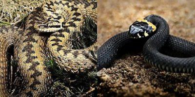 Cum distingi cu ușurință o viperă de un șarpe
