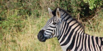 O zebră a născut un pui neobișnuit după o relație cu un măgar