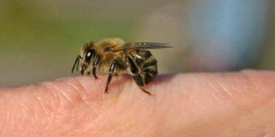 De ce înțepătura de albină doare atât de mult?