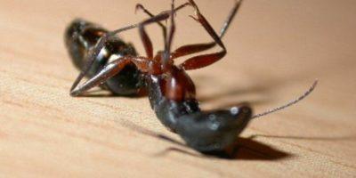 Ce fac furnicile cu rudele moarte