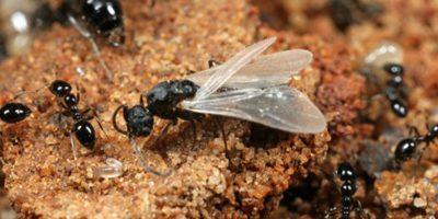 De ce unele furnici au aripi?