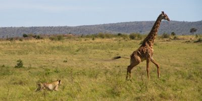 Viața periculoasă a girafelor. Consecințele unui gât lung