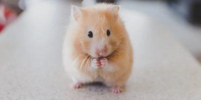 De ce hamsterii își mănâncă puii?