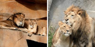 Doi lei inseparabili au murit la doar 11 zile distanță unul față de altul