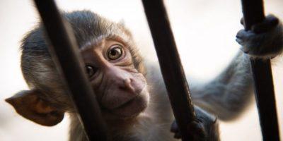 De ce maimuțele sunt arestate în India? Care este scopul?