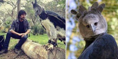 Faceți cunoștință cu harpia! Pasărea gigant din America de Sud