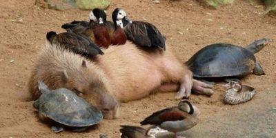 Capibara. Acest animal sălbatic își face prieteni oriunde merge