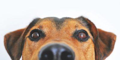 De ce câinii au nasul umed?