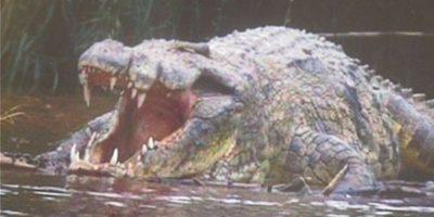 Gustave: celebrul crocodil din Africa care a devorat 300 de oameni