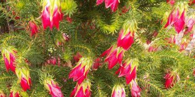 Este adevărat că floarea de pin înflorește odată la 100 ani?