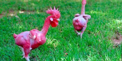 Găini fără pene. Rasa incredibilă care te scapă de jumulit