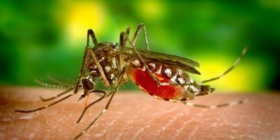 Ce se întâmplă dacă un țânțar bea sânge cu alcool?