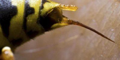 De ce albina moare când înțeapă, dar viespea nu?