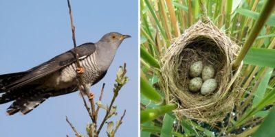 De ce cucul își depune ouăle în cuiburile altor păsări?