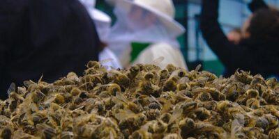 De ce unii oamenii consumă albine uscate?