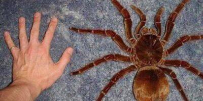 30 de cm și greu ca un cățeluș: Cel mai mare păianjen din lume