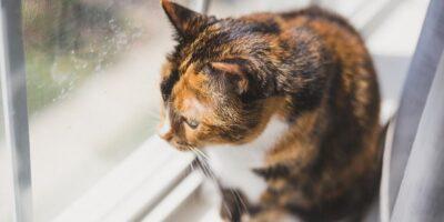 Este adevărat că pisicilor le este dor de stăpâni?