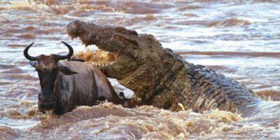 De ce crocodilul de Nil nu poate fi vânat cu gloanțe?