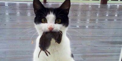 De ce pisicile aduc șoareci stăpânilor?