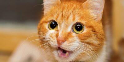 """De ce unele pisici sunt prea """"vorbărețe"""" cu proprietarii?"""