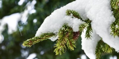 De ce bradul nu își pierde acele și este verde tot timpul anului?