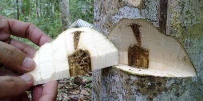 80.000 de euro pe kilogram. De ce lemnul de agar este atât de scump?