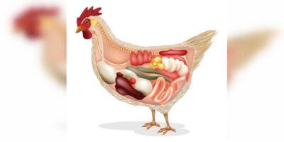 """Cele mai """"otrăvitoare"""" părți ale găinii care nu ar trebui mâncate niciodată"""