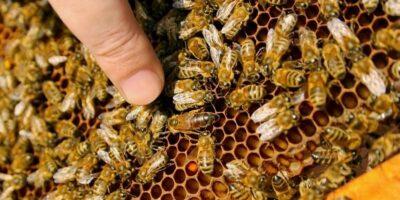 De ce albinele muncitoare au nevoie de un trântor parazit în stup?