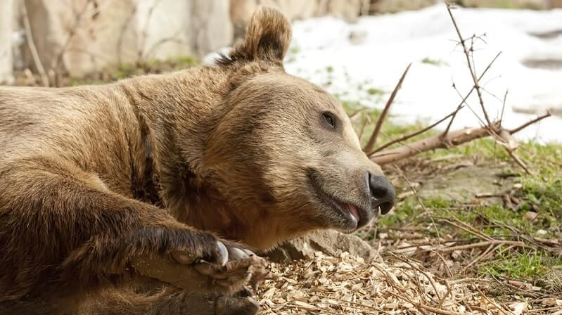 ursul de grăsime ajută dacă cu vene varicoase vânătăile apar pe picioare