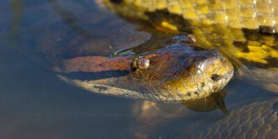 15 curiozități despre anaconda, cel mai masiv șarpe din lume