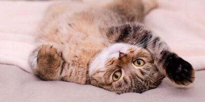 De ce pisicile se tăvălesc pe jos la vederea proprietarilor?