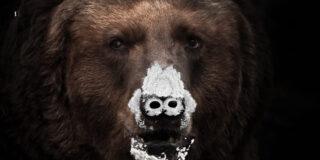 Pablo EskoBear: Povestea ursului care a mâncat 30 de kilograme de cocaină